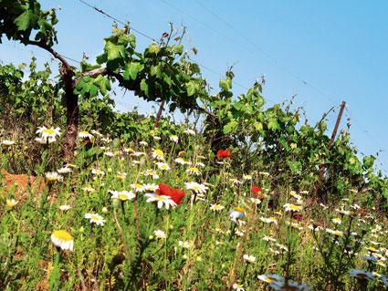 Le vigneron bio ruiné par une pollution chimique